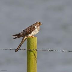 Cuckoo (kc02photos) Tags: cuckoo cuculuscanorus abberton essex england uk birdphotography