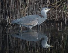 Rainham 02.10.19 Grey Heron stalking