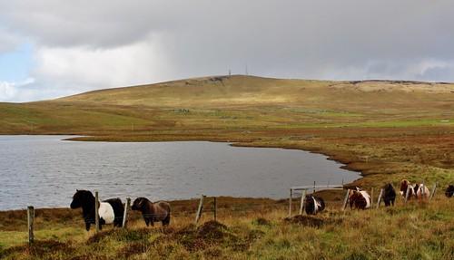 Shetland Ponies IMG_5355