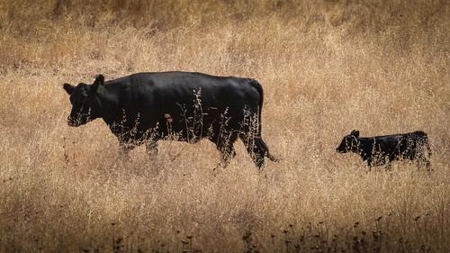 Calf and Mon in Golden Grass