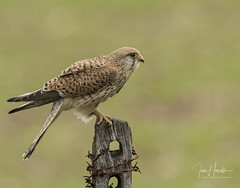 Kestrel (Ian howells wildlife photography) Tags: ianhowells ianhowellswildlifephotography indurotripods induropushfurther ianhowellswildifephotography kestrel uk hawks nature naturephotography nationalgeographic bird birdofprey bbcspringwatch benrouk bbc canon canonuk springwatch wildlife wildlifephotography wild wales wildbird wildbirds