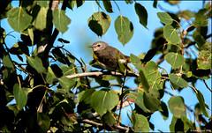 American Redstart (Setophaga ruticilla) (Steve Arena) Tags: americanredstart setophagaruticilla amre westboro westborough westborowildlifemanagementarea westborowma worcestercounty massachusetts nikon d750 2019 bird birds birding