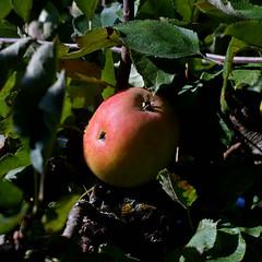 Apple ..... good appetite... (dl1ydn) Tags: dl1ydn apple apfel apfelbaum garden garten obst carlzeiss planar 100mmf28 manuell manualfocus nahaufnahmen closeup nature natur