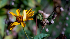 Stauden-Sonnenblume (Helianthus) (dl1ydn) Tags: dl1ydn garden blossom blüten yello manuell manualfocus carlzeiss planar 100mmf28 nahaufnahmen bokeh nature natur