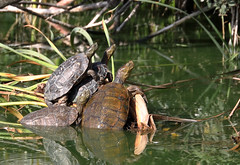 Spanish Pond Turtles (Mauremys leprosa) (piazzi1969) Tags: elements mauremysleprosa spanishpondturtle turtles reptiles herps quintadolago sanlorenzo herpetology nature canon eos 5d markiv ef100400mm portugal algarve reptilian fauna