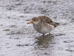Ruff (kc02photos) Tags: ruff philomachuspugnax titchwell norfolk england uk birdphotography