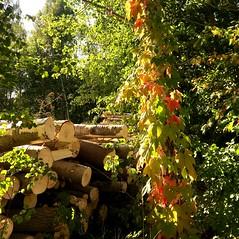 Autumn View (halleluja2014) Tags: autumn autumncolors creeper falun virginiacreeper parthenocissus quinquefolia höstfärger vildvin klättrar förvildad bojsenburg september sunshine gallring