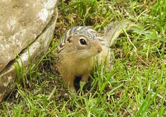 Thirteen-lined ground squirrel (pamfromcalgary) Tags: animal thirteenlinedgroundsquirrel southernalberta pamhawkes
