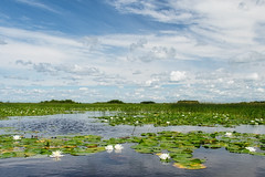 Wish in one hand (Wicked Dark Photography) Tags: landscape wisconsin clouds flower flowers kayaking lake lilypads nature paddling sky summer water waterlily wetland wetlands wildflower wildflowers