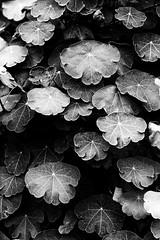 nasturtium (Francis Mansell) Tags: leaf foliage plant monochrome blackwhite niksilverefexpro2 nasturtium kew royalbotanicgardenskew kewgardens