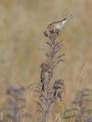 Linnets (kc02photos) Tags: linnet cardueliscannabina landguardpoint suffolk england uk birdphotography