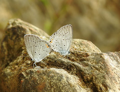 Love on the Rocks (annette.allor) Tags: easterntailedblue male female butterfly cupidocomyntas