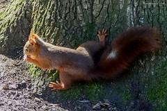 Ecureuil roux (Ezzo33) Tags: france gironde nouvelleaquitaine bordeaux ezzo33 nammour ezzat sony rx10m3 mammifère animal animaux mammifères écureuilroux redsquirrel sciurusvulgaris