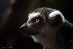 Lemur in Profile (Simmie | Reagor - Simmulated.com) Tags: 2019 animals boston connecticutphotographer conservation d750 franklinparkzoo landscapephotographer massachusetts naturephotographer newengland nikon northeast summer zoo digital dorchester unitedstatesofamerica topazstudio zoosofnorthamerica