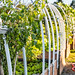 Tomato Plants Bend to The Afternoon Sun in Local Community Garden