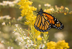 Monarch Migration (Bernie Kasper (6 million views)) Tags: art berniekasper butterfly bug bugs aster color colour d750 family flower floral flowers fall fun hiking historic history home indiana indianawildflowers insect insects indianabutterflies image light leaf love madisonindiana macro nature nikon naturephotography new nwr bigoaksnwr outdoors outdoor old outside photography plant photos park photo people raw sigma travel unitedstates usa wildflower wildflowers
