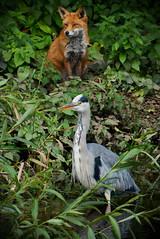 Fox and Heron watch the world go by. (mond.raymond1904) Tags: fox heron dodder sitting looking river dublin