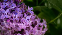 Hyacinth (coviello_pasta) Tags: hyacinth flower botany wildflower outdoorphotography vt vermont newengland