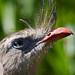 Crested screamer (Chauna torquata) - Paignton Zoo, Devon - Sept 2019