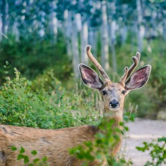 Cerf-mulet au petit matin. Mule deer in the morning. (raphaelle.kaufmann.photographies) Tags: wildlifephotography animalier faune animaux cerf naturesauvage wild wildlife nature cerfmulet muledeer