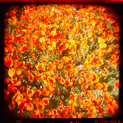 poppies. mojave desert, ca. 2003. (eyetwist) Tags: eyetwistkevinballuff eyetwist poppies mojavedesert california flowers bloom antelopevalley holga 120s 60mm agfa optima 400 color holga120s holga60mmf8 agfaoptimaii400 ishootfilm ishootagfa epsonv750pro filmtagger photoimpactwest holgaography plasticcamera 120 mediumformat lores plasticfantastic toycamera vignette square saturated dramaticcolor orange poppy californiapoppyreserve spring springtime palmdale lancaster film emulsion analog analogue flower holgaweek