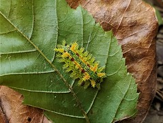 Spiny Oak-slug Moth (matthewbeziat) Tags: spinyoakslugmoth patuxentresearchrefuge patuxentresearchrefugenorthtract maryland eucleadelphinii annearundelcounty