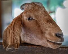Eye of Goat (mgstanton) Tags: drumlinfarm farm fall lincoln goat eye sony af autofocus eyeaf animal animaleyeaf