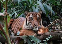 Connor (greekgal.esm) Tags: malayantiger tiger bigcat cat feline animal mammal carnivore connor sandiegozoo sandiego balboapark sony rx10m4 rx10iv