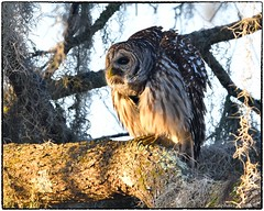 Barred Owl in late afternoon light (RKop) Tags: circlebpreserve florida raphaelkopanphotography d500 600mmf4evr nikon 14xtciii
