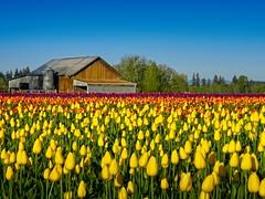 Barn Tulip Field A (jim.choate59) Tags: jchoate on1pics tulip field woodenshoetulipfarm oregon landscape agriculture flower barn rural springtime woodburnoregon marioncounty