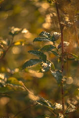 Golden morning (tonguedevil) Tags: outdoor outside countryside autumn nature field meadow flora leaves bokeh morning colour light shadows sunlight sunrise