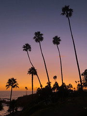 Palm Trees in Laguna Beach, California (ChrisGoldNY) Tags: ocean pacific magichour dusk palmtrees silhouettes silhouette friendlychallenges challengewinners chrisgoldphoto chrisgoldny chrisgoldberg bookcovers albumcovers licensing lagunabeach laguna orangecounty california cali socal westcoast heislerpark trees parks iphone