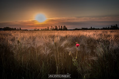 L'Abeille et le coquelicot - Alsace (Schneider Vincent) Tags: bee abeille coquelicot fleur alsace france europe insect hornet sunrise leverdesoleil poppy blé champs fiels fields campagne nature