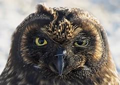 Galapagos Short Eared Owl (Craig Hemsath) Tags: owl wildlife galapagos linblad