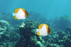 pyramid pair (BarryFackler) Tags: pyramidbutterflyfish seacreatures sealife animals beings hemitaurichthyspolylepis butterflyfish fish pair duo coralreef hawaiianislands nature marinelife pacificocean island kona 2019 water diving scuba westhawaii ecology ecosystem marineecology marineecosystem reef undersea underwater ocean sea organisms outdoor polynesia pacific aquatic southkona sealifecamera sandwichislands wildlife diver dive fauna hawaii hawaiiisland hawaiicounty honaunau honaunaubay hawaiidiving konacoast konadiving bigislanddiving life marine marinebiology barryfackler barronfackler bigisland bay biology vertebrates coral creatures zoology explore explored inexplore