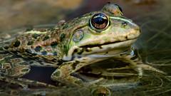 a Frog : portrait (Franck Zumella) Tags: nature water eau lac lake frog grenouille swim swimming nager wildlife animal a7r tamron 150600 reflection reflexion green vert marron eye oeil portrait closeup close