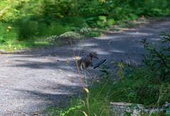 DSC_1038 (Adrian Royle) Tags: finland kuopio travel holiday nature wildlife bird grouse hazelgrouse forest path outdoors nikon bonasabonasia