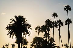 Laguna Beach, California (ChrisGoldNY) Tags: chrisgoldphoto chrisgoldny chrisgoldberg bookcovers albumcovers licensing sony sonyalpha sonya7rii sonyimages lagunabeach california socal cali orangecounty laguna westcoast silhouette silhouettes palmtrees trees sunset heisler park
