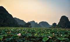 Mua Cave Lotus Field (stephenccwu) Tags: vietnam lotus green pink sunset sunrise pond field mountain nikonz6 asia flower leaf scene nature landscape