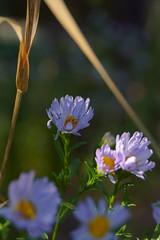 Сентябринка / Santbrink (4) (Владимир-61) Tags: осень сентябрь природа цветы цветение сентябринка россия autumn september nature flower blossom santbrink russia sony ilca68 sony1855dtsamii