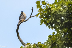 PEREGRINE FALCON - PALISADES INTERSTATE PARK, NEW JERSEY (Xacobeo4) Tags: peregrine falcón palisades acantilados jersey new