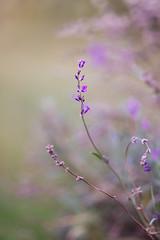 Lavender (Inka56) Tags: lavender flowers flora seasonsbeauty bokeh bokehpainting violet shallowdepthoffield dof