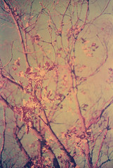 I can see it coming, it's only a matter of days now (ale2000) Tags: 100 35mm lca lomochrome lomochromenewpurple lomography purple analog analogphotography analogue branches colorshift countryside film fotografiaanalogica leaves nature pellicola trees winter wintertime yellowleaves newlomochromepurple400 shifted colorshifting filmisnotdead believeinfilm autumn autunno fall grain grainy flawed filmgrain tree albero rami deadleaves fogliemorte orange arancio arancione