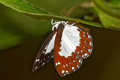 The Columbine (scubahenlik) Tags: butterfly riodinidae khaosok insect nature thailand lepidoptera