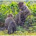 Jaguars (Panthera onca) in de Pantanal in Brazilië ...