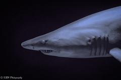 Cue the Theme from Jaws (KRHphotos) Tags: shark wildlife baltimore maryland nationalaquarium nature