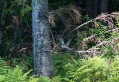 DSC_1039 (Adrian Royle) Tags: finland kuopio travel holiday nature wildlife bird grouse hazelgrouse forest path outdoors nikon bonasabonasia