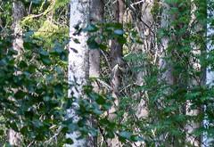 DSC_1036 (Adrian Royle) Tags: finland kuopio travel holiday nature wildlife bird grouse hazelgrouse forest path outdoors nikon bonasabonasia