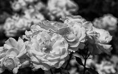 Roses Of Hope (AnyMotion) Tags: dayofgermanunity tagderdeutscheneinheit rose rosa blossom blüte petals blütenblätter bokeh plants pflanzen 2019 floral flowers botanischer garten frankfurt bw blackandwhite sw 7d2 canoneos7dmarkii summer sommer été verano zomer estate ngc npc