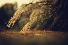 Autumn light (Sarah Rausch) Tags: fall autumn ornamentalgrass lame sony bokeh rikenon5514 14 depth soft nature golden fuzzy simple vintage glass radioactive